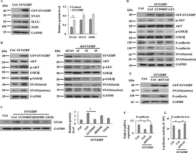 SYNJ2BP regulates breast cancer cellular EMT via PI3K/AKT/GSK3β/SNAI1.