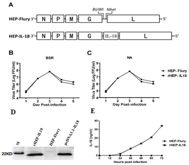 Construction and characterization of recombinant RABV expressing IL-18 in vitro.