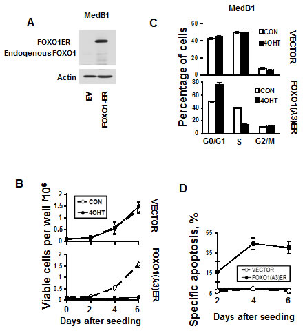 FOXO1 inhibits growth and induces apoptosis in MedB-1 cells.