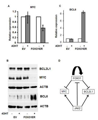 The antitumor effect of FOXO1 is associated with inhibition of MYC and BCL2L1.