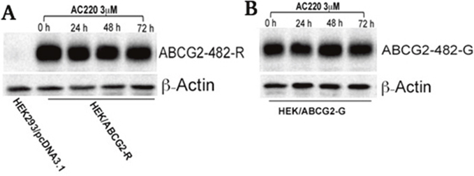 The effect of quizartinib on the expression of wild-type and 482-G mutant ABCG2.