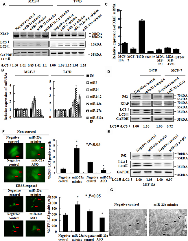 Forced expression of miR-23a induces autophagic activity.