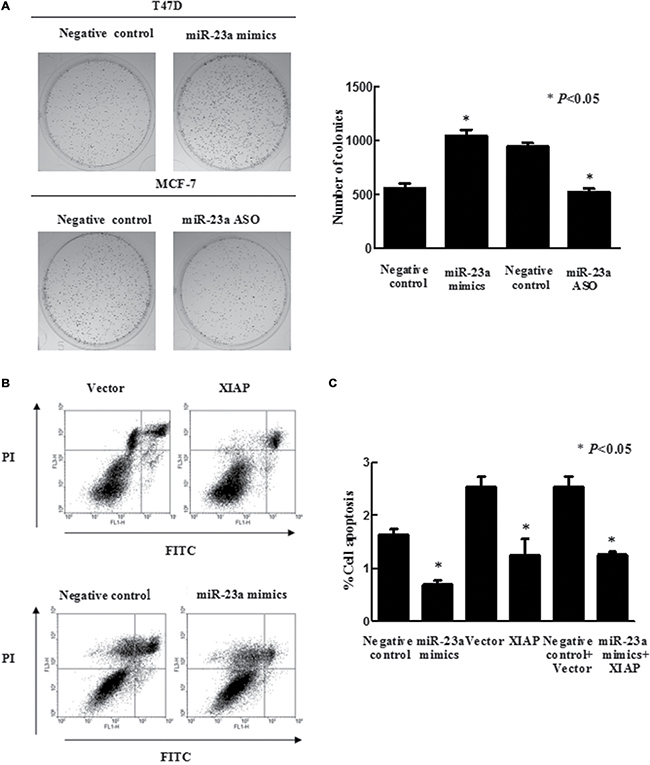 Effects of miR-23a on breast cancer cell viability and apoptosis.