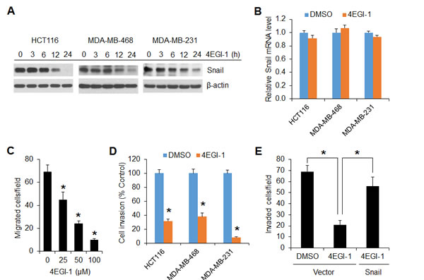 The translation initiation inhibitor 4EGI-1 effectively suppresses Snail expression and migratory and invasive capacities of cancer cells.