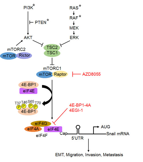 A schematic model for the role of mTROC1/4E-BP1 signaling axis in the translational control of Snail and its biological consequences.