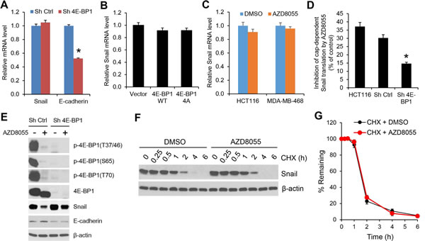The regulation of Snail expression by mTORC1 is through 4E-BP1-mediated cap-dependent translation mechanism.