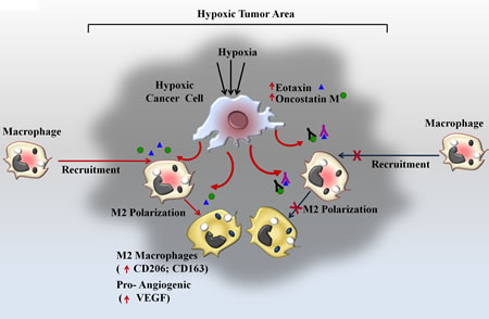 Fig 9: Schematic Representation of Oncosatin M and Eotaxin mediated Recruitment of TAMs and subsequent M2 polarization in Hypoxic Tumor area.