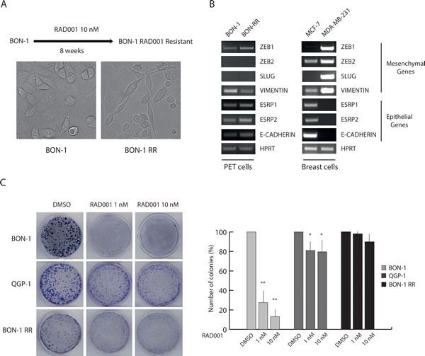 Chronic treatment selects RAD001-resistant BON-1 cells.