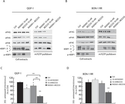 Combined treatment with BEZ235 and RAD001 efficiently suppress assembly of the translation initiation complex eIF4F and protein synthesis in RAD001-resistant PET cells.