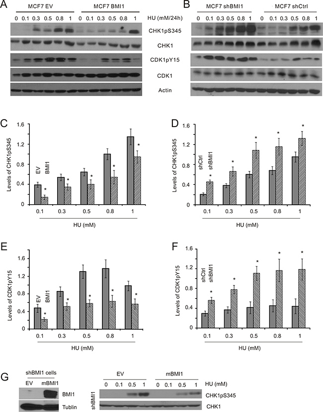 BMI1 decreases HU-induced CHK1 activation in MCF7 cells.