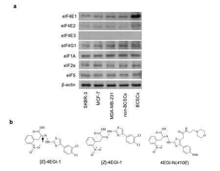 Translation initiation factor eIF4E1 is enhanced in breast CSCs and structures of compounds.