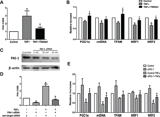 TM5441 pre-treatment and siPAI-1 improved TNF-α-induced mitochondrial dysfunction in HepG2 cells.