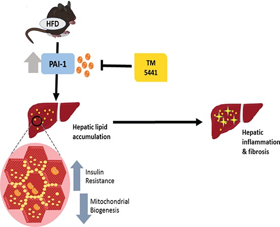 A schematic diagram showing the inhibition of PAI-1 by TM5441 ameliorates NAFLD partially through increasing mitochondrial biogenesis.