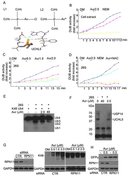 Aur inhibits the 19S proteasome DUB activity rather than 20S proteasome peptidases.