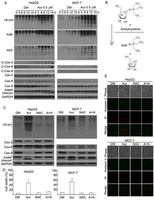Proteasome inhibition is required for Aur to induce apoptosis.