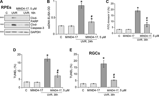 MIND4-17 inhibits UVR-induced apoptosis in RPEs and RGCs.