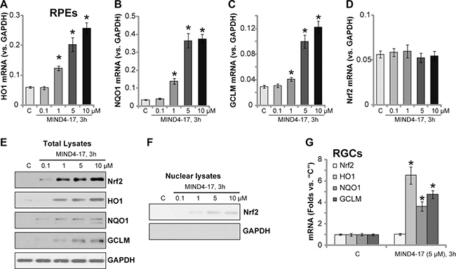 MIND4-17 activates Nrf2 signaling in retinal cells.