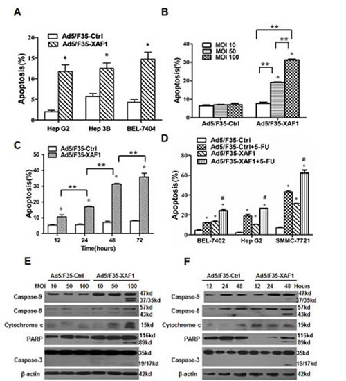 Restoration of XAF1 expression induced apoptosis in HCC cell lines.