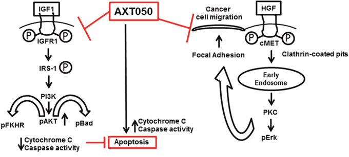 Multimodal anticancer properties and possible mechanism of action of AXT050 in hepatocellular cancer cells in vitro (inhibition of cellular migration) and in autochthonous mouse model in vivo (inducing apoptosis).