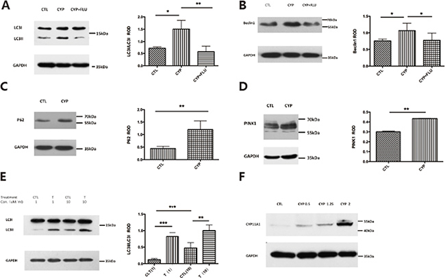 CYP11A1 overexpression and androgen could induce autophagy in BeWo cell line.