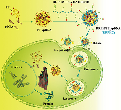 Schematic illustration of the preparation and dual tumor-targeting of RRPHC ternary nanoparticles.