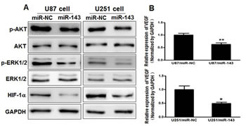 Figure3: MiR-143 inhibits AKT and ERK1/2 pathways as well as the expression of HIF-1α and VEGF via targeting N-RAS.