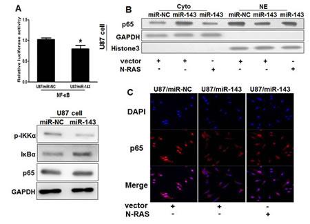 Figure4: MiR-143 attenuates the accumulation of p65 in nucleus in glioma cells.