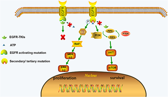 EGFR-dependent resistance mechanisms of irreversible EGFR-TKIs.