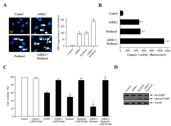 Activation of caspase-3 is important for sMEK1/paclitaxel-triggered OVCAR-3 cell apoptosis.