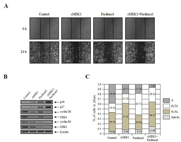 sMEK1 and paclitaxel mediate cell migration and cell cycle arrest.