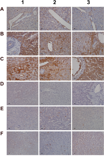 Immunohistochemistry staining of convertase C3 and the C1 inhibitor of the classical pathway in liver sections of control and diclofenac treated animals after daily dosing for 28 days.