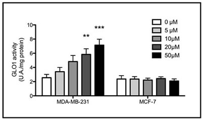 Increased Glo-1 activity in triple negative cells exposed to chronic treatment with MG.