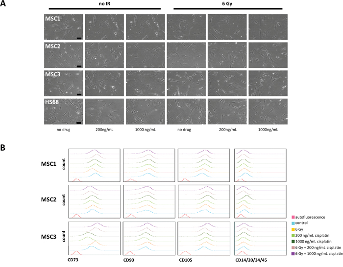 Cisplatin-based chemo-radiation does not alter morphology and surface marker expression of MSCs.