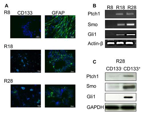 Characterization of CD133