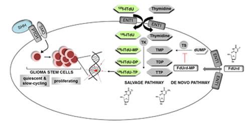 A two-step killing strategy of glioblastoma multiforme stem cells.