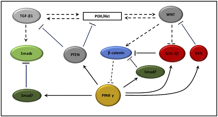PPAR γ interactions with TGF-β1, PI3K/Akt pathway and the canonical WNT/β-catenin pathway.