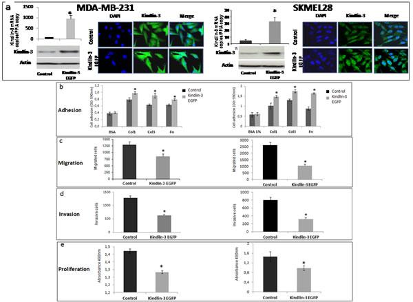 Kindlin-3 upregulation increases adhesion and decreases migration, invasion and proliferation in tumor cells a.