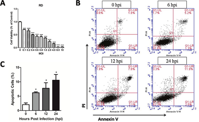 Cytotoxicity of EV71 at different MOI and apoptosis induced by EV71 infection in RD cells.