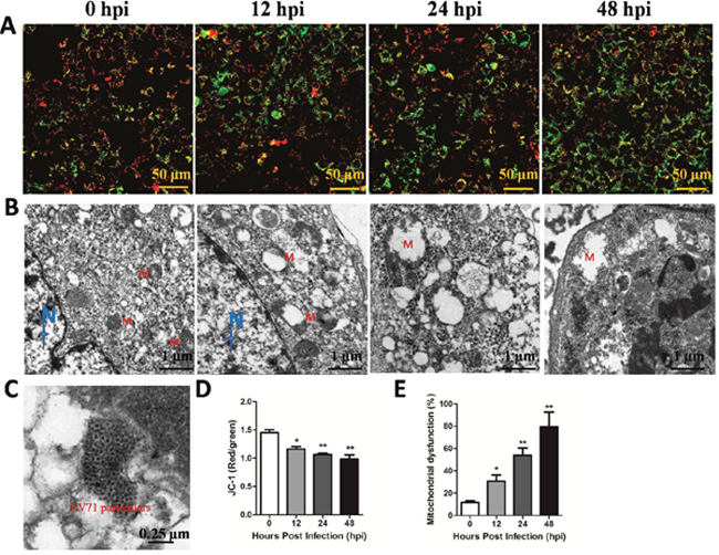 EV71 infection induced mitochondrial damage in vitro.