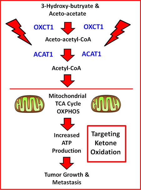 Schematic diagram summarizing how OXCT1 and ACAT1 are thought to fuel mitochondrial metabolism.