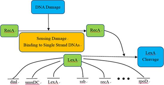 SOS DNA repair system of Escherichia coli.