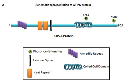 Schematic representation of the basic structure of CIP2A (A) and the mode of interaction of CIP2A with c-MYC and PP2A (B).