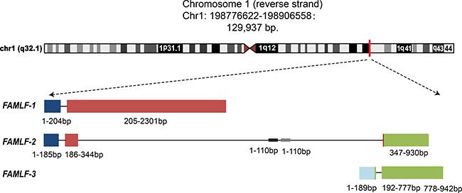 Three alternative splicing isoforms of FAMLF gene family, FAMLF-1 (2313 bp), FAMLF-2 (930 bp), FAMLF-3 (942 bp), and it' intronic miRNA embedded in human chromosome 1q32.1 genomic.