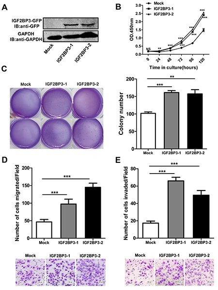 Enhanced cell growth, colony formation, migration and invasion with overexpression of IGF2BP3.