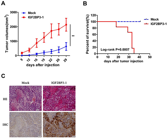 Increased tumorigenicity of H460 cells in vivo with overexpression of IGF2BP3.