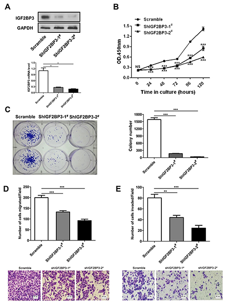 Reduced cell growth, colony formation, migration and invasion upon silencing of IGF2BP3 expression.