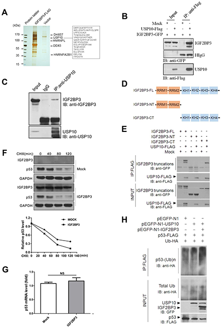 IGF2BP3 physically interacts with USP10 and attenuates USP10 mediated deubiquitination of p53.