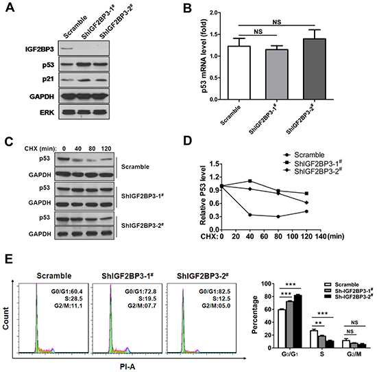 Knockdown of IGF2BP3 increases the stability of p53 protein.