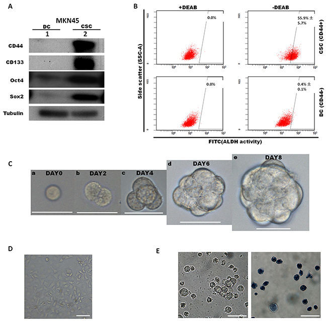 Characterization of cancer stem-like cells sorted from the MKN45 cell line according to CD44 expression.