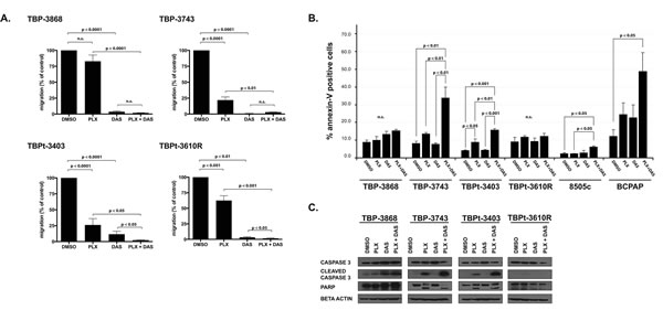 Combined treatment with PLX4720 and dasatinib reduces cellular migration and induces apoptosis in a subset of PTC and ATC cell lines.